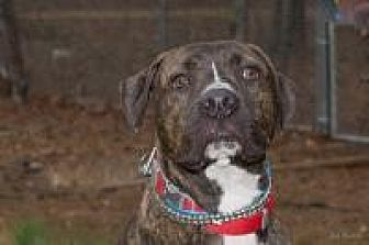 American Staffordshire Terrier Mix Dog for adoption in Chattanooga, Tennessee - Rudi