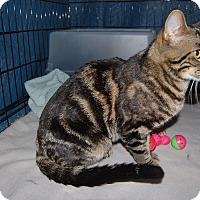 Adopt A Pet :: Tiger - Whittier, CA