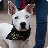 Adopt A Pet :: Belle - Sunnyvale, CA