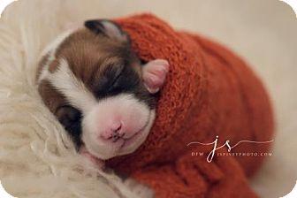 Beagle Mix Puppy for adoption in Dallas, Texas - Missy Elliott II