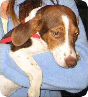 Beagle Puppy for adoption in Portland, Oregon - Jake