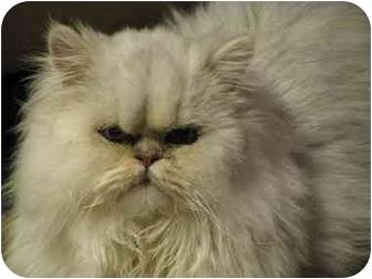 Persian Cat for adoption in Davis, California - Napoleon