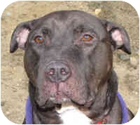 Staffordshire Bull Terrier Mix Dog for adoption in Eatontown, New Jersey - Guy