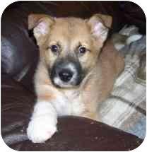 German Shepherd Dog/Hound (Unknown Type) Mix Puppy for adoption in Exeter, Rhode Island - Boots