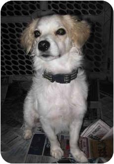 Spaniel (Unknown Type)/Cavalier King Charles Spaniel Mix Dog for adoption in Encino, California - BellaDonna