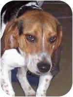 Beagle Mix Dog for adoption in Murphysboro, Illinois - Blitzen