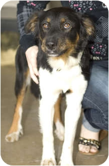 Border Collie Mix Dog for adoption in Tangent, Oregon - Katie