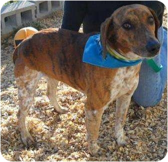 Beagle Mix Dog for adoption in Salem, New Hampshire - Lucky