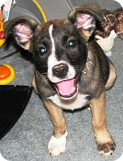 Shepherd (Unknown Type) Mix Puppy for adoption in Foster, Rhode Island - Murphy