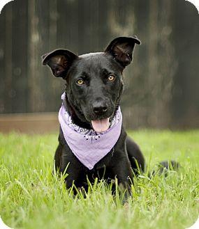Labrador Retriever Mix Dog for adoption in Portsmouth, Rhode Island - Mallory