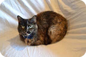 Domestic Shorthair Cat for adoption in N. Billerica, Massachusetts - Caitlyn