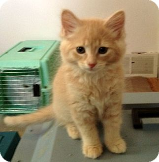 Domestic Shorthair Kitten for adoption in Troy, Michigan - Andy Dirks