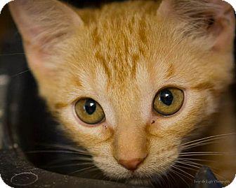 Domestic Shorthair Kitten for adoption in Bulverde, Texas - Ginger