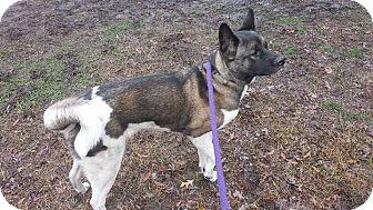 Akita Dog for adoption in Virginia Beach, Virginia - Sasha Bear