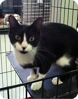 Domestic Shorthair Cat for adoption in Fort Riley, Kansas - Smiley