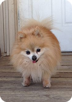 Pomeranian Dog for adoption in Kansas City, Missouri - Scooter