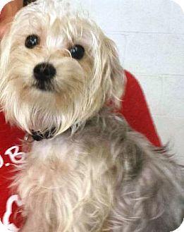 Yorkie, Yorkshire Terrier Puppy for adoption in Oswego, Illinois - Star