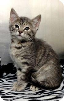 Domestic Shorthair Kitten for adoption in Dublin, California - Izzy