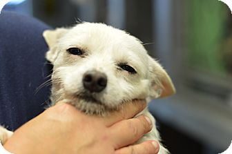 Terrier (Unknown Type, Small)/Dachshund Mix Dog for adoption in Henderson, North Carolina - Ghost