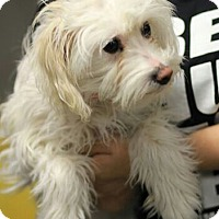 Adopt A Pet :: Anastasia - non shed havanese - Phoenix, AZ