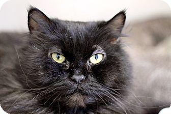 Persian Cat for adoption in Chicago, Illinois - Quasi