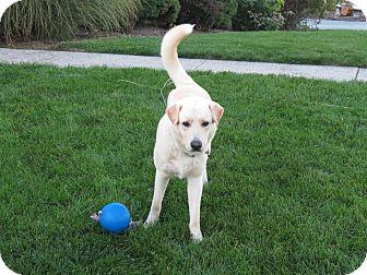 Labrador Retriever Mix Dog for adoption in New Oxford, Pennsylvania - Mack
