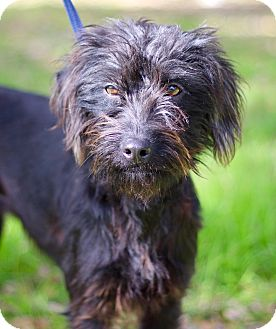 Schnauzer (Miniature)/Terrier (Unknown Type, Small) Mix Dog for adoption in Jacksonville, Florida - SELMA