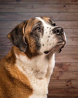 St. Bernard Dog for adoption in Glendale, Arizona - Emily