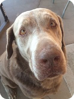 Labrador Retriever Dog for adoption in Phoenix, Arizona - Brutus