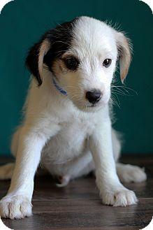 Terrier (Unknown Type, Medium) Mix Puppy for adoption in Waldorf, Maryland - Kody