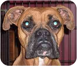 Boxer Dog for adoption in W. Columbia, South Carolina - Lucy