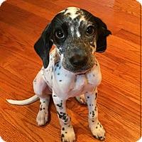 Adopt A Pet :: Perry aka Aspen - Fredericksburg, VA