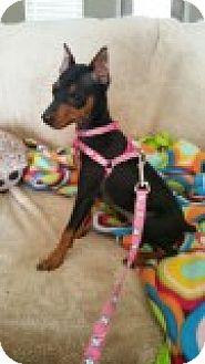 Miniature Pinscher Mix Dog for adoption in Brattleboro, Vermont - Missy