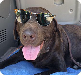 Labrador Retriever Mix Dog for adoption in Huntsville, Alabama - Roca
