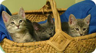 """Domestic Shorthair Kitten for adoption in Hastings, Nebraska - Batman """"Kitten"""""""