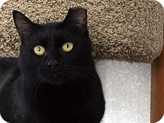 Domestic Shorthair Cat for adoption in Republic, Washington - Bitsie VALENTINE'S SPECIAL! 50