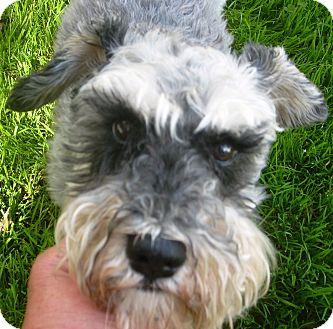 Schnauzer (Miniature) Mix Dog for adoption in Millersville, Maryland - Scooter