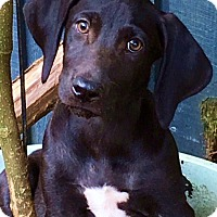 Adopt A Pet :: Rolls-mom is purebred Lab - Pewaukee, WI