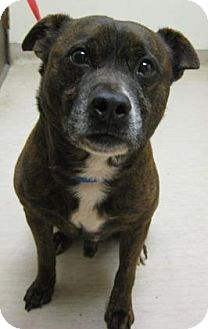 Terrier (Unknown Type, Medium) Mix Dog for adoption in Gary, Indiana - Billy Jack
