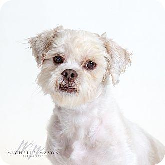 Lhasa Apso Dog for adoption in Naperville, Illinois - Tarzan