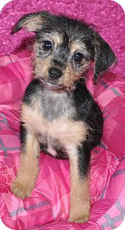 Terrier (Unknown Type, Small) Mix Puppy for adoption in Southington, Connecticut - Noel