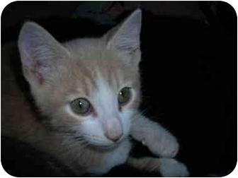 Domestic Shorthair Kitten for adoption in Riverside, Rhode Island - Mickey