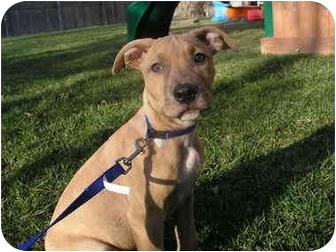 American Pit Bull Terrier/Labrador Retriever Mix Dog for adoption in Plainfield, Illinois - Dixie