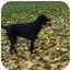 Photo 2 - Border Collie/Irish Setter Mix Dog for adoption in Emmett, Idaho - ZEKE