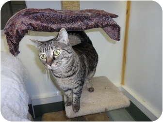 Domestic Shorthair Cat for adoption in Kingston, Washington - Peanut