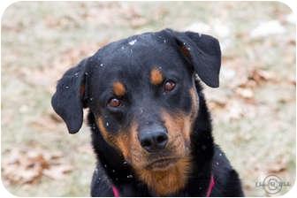 Rottweiler Dog for adoption in Rexford, New York - Kestle