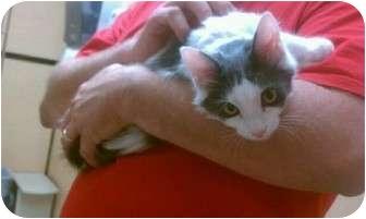 Turkish Angora Kitten for adoption in Palm desert, California - Chloe
