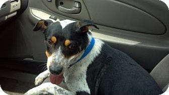 Australian Cattle Dog Mix Dog for adoption in Phoenix, Arizona - Momma Luv