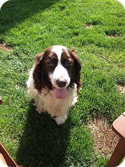 English Springer Spaniel Dog for adoption in Worcester, Massachusetts - Molly