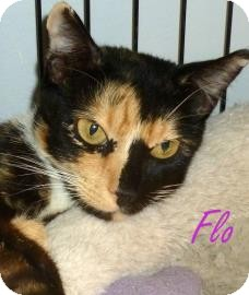Domestic Shorthair Cat for adoption in Georgetown, South Carolina - Flo